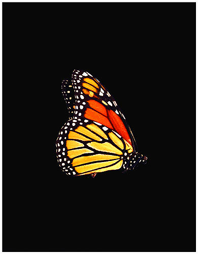 Butterfly by Roy DiTosti