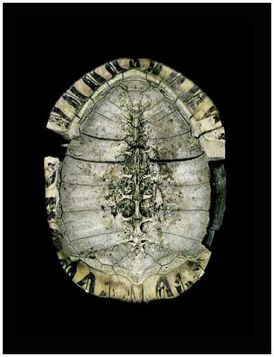 Turtle Shell Under by Roy DiTosti